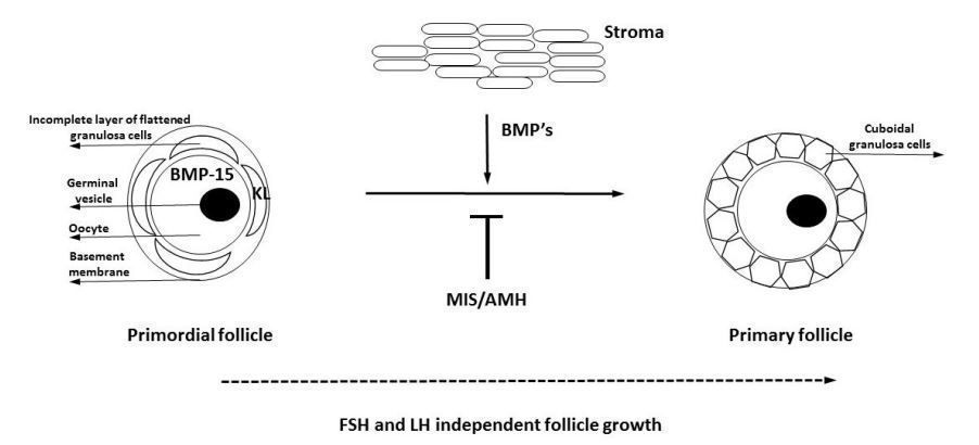 Simplified representation of early stages of mammalian folliculogenesis. KL, kit ligand; BMPs, bone morpho‐ genic proteins; MIS/AMH, Müllerian inhibitory substance.