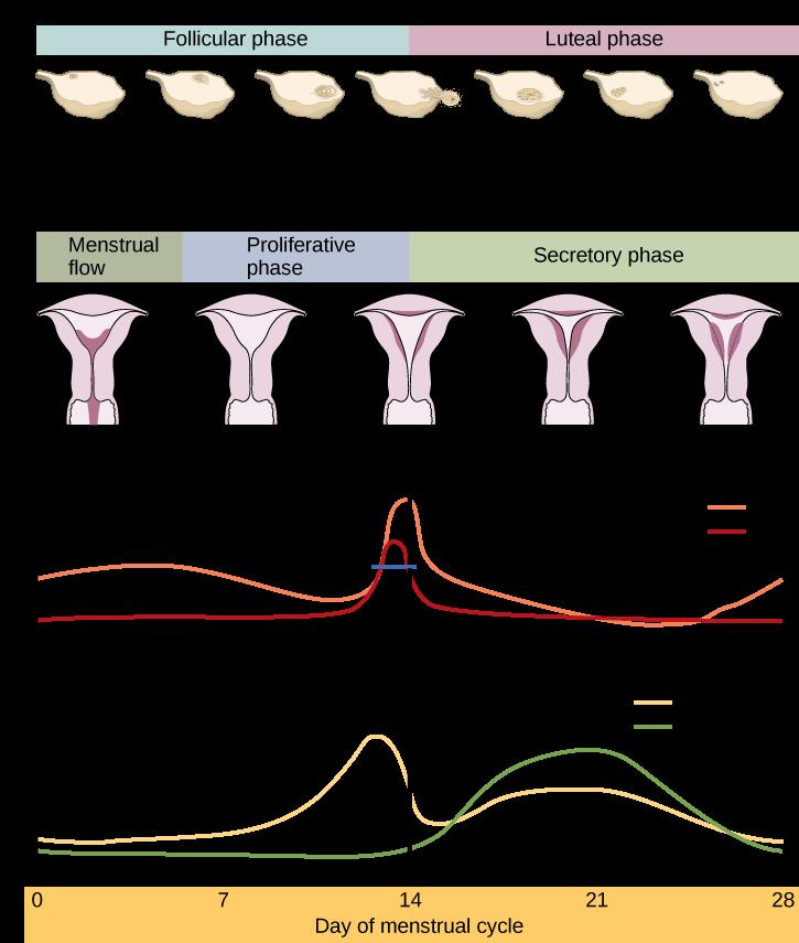 Menstruation Fertilitypedia