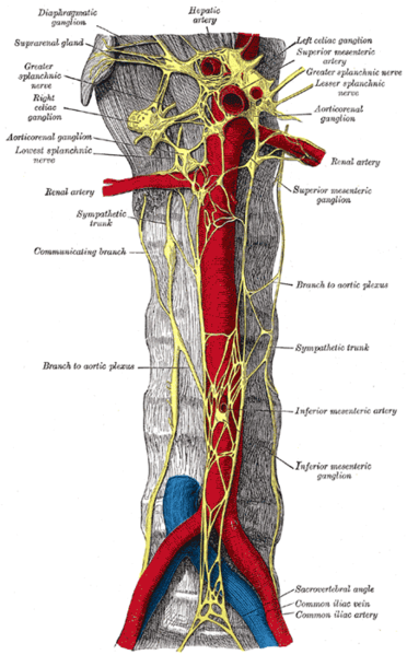 An illustration of the nervous plexi that are excised during presacral neurectomy.