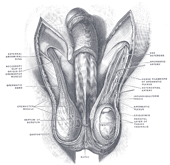An overview of structures in the scrotum. Main content is the testes and the spermatic cords.