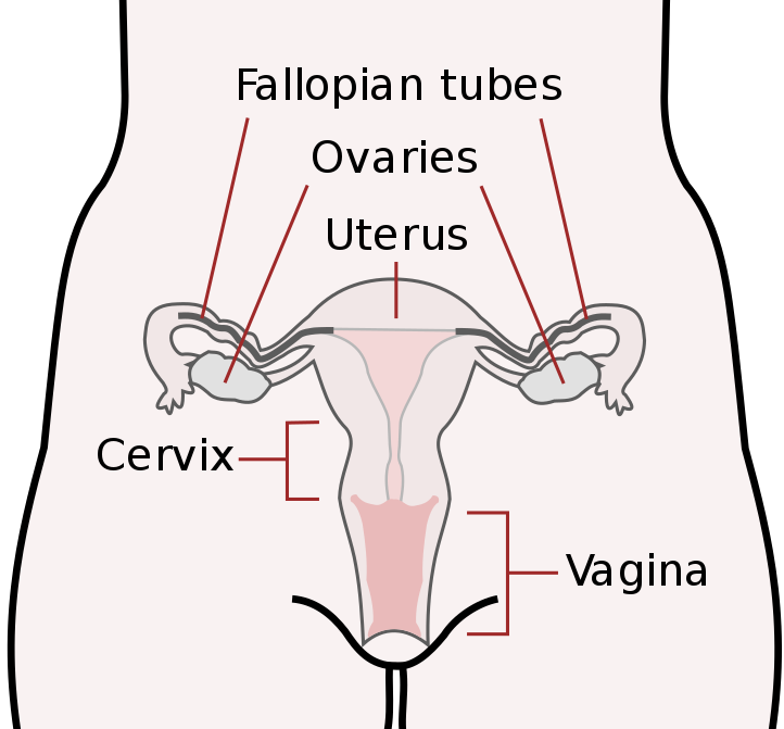 Illustration of female reproductive organs.