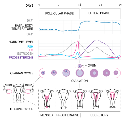 The menstrual cycle is controlled by the endocrine system, with distinct phases correlated to changes in hormone concentrations.