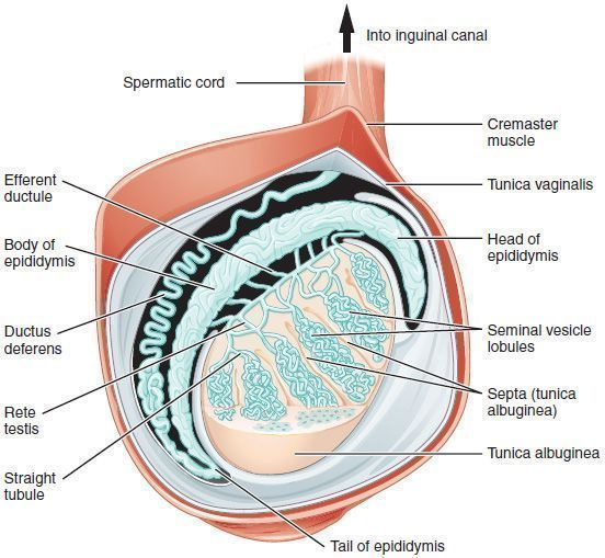 This sagittal view shows the seminiferous tubules, the site of sperm production.