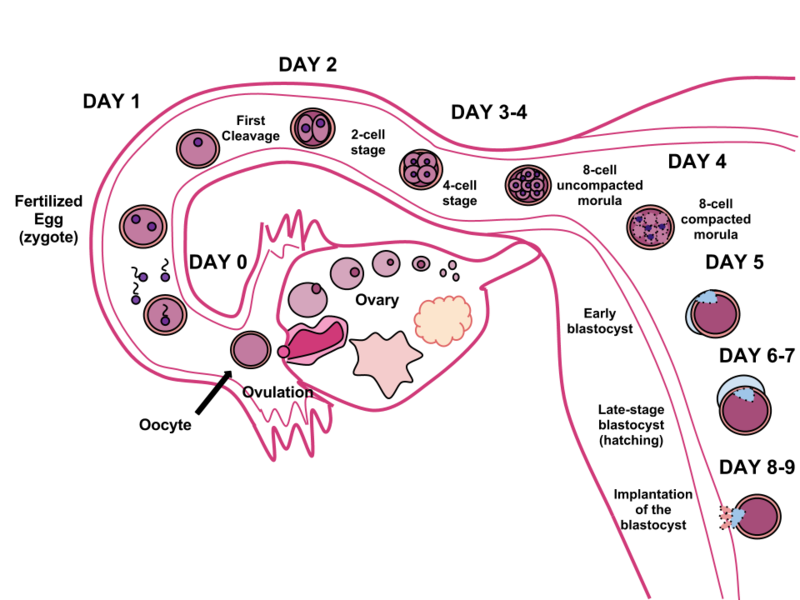 Fertilization in humans. The sperm and ovum unite through fertilization, creating a conceptus that (over the course of 8-9 days) will implant in the uterine wall, where it will reside over the course of 9 months.