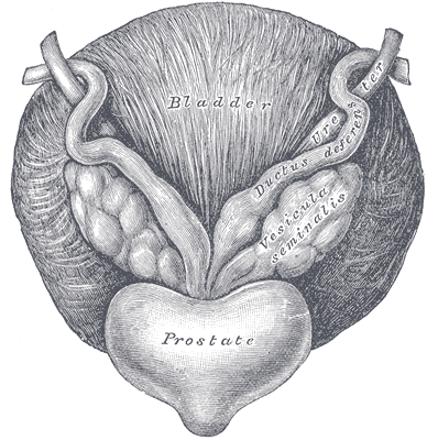 An illustration  of the anatomy of the prostate gland.