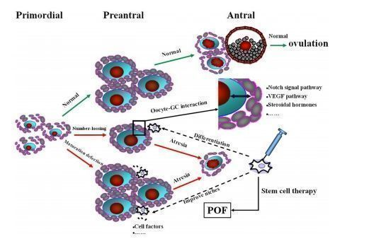 The hypotheses for POF induction by chemotherapy and the stem cell therapy.