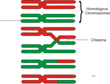 The offspring gets a set of chromosomes from each parent so that, half comes from each parent. But the two sets of chromosomes are not identical with the parental chromosomes. This is because they are changed during a process called crossing over.