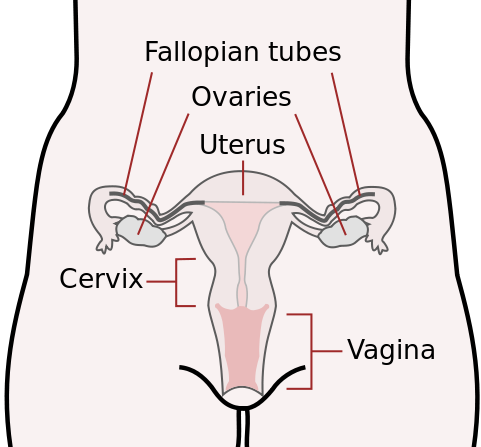 The human female reproductive system. The cervix is the lower narrower portion of the uterus.