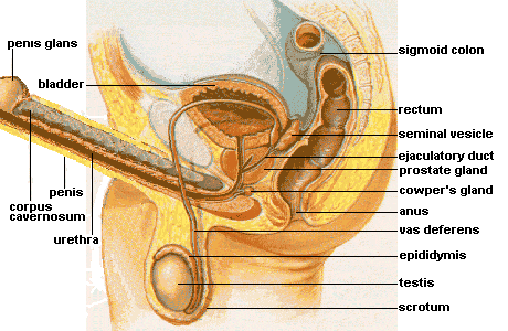 An illustration of the male genital tract and the structures involved in ejaculation.