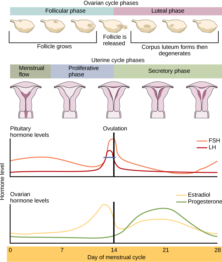 A diagram of pituitary and ovarian hormone levels during the menstrual cycle.