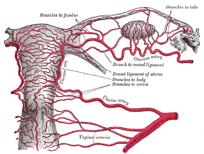 Blood supply of the ovary.