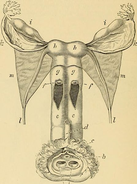 An illustration showing a development anomaly, resulting in two vaginas (e), two vaginal orifices, and two uteruses (h).