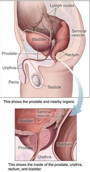 Prostate and nearby organs.