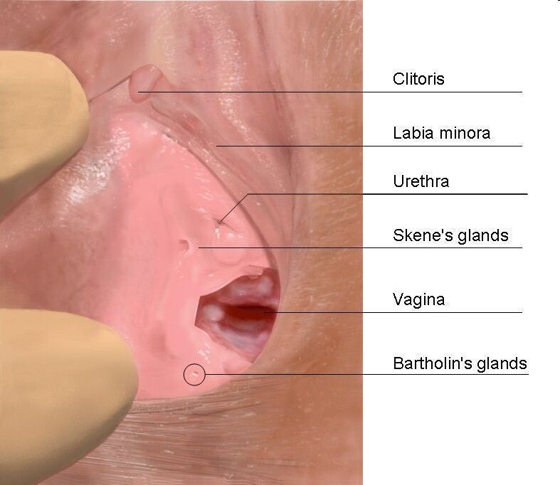 Vagina, clitoris, urethra and Bartholin's glands.