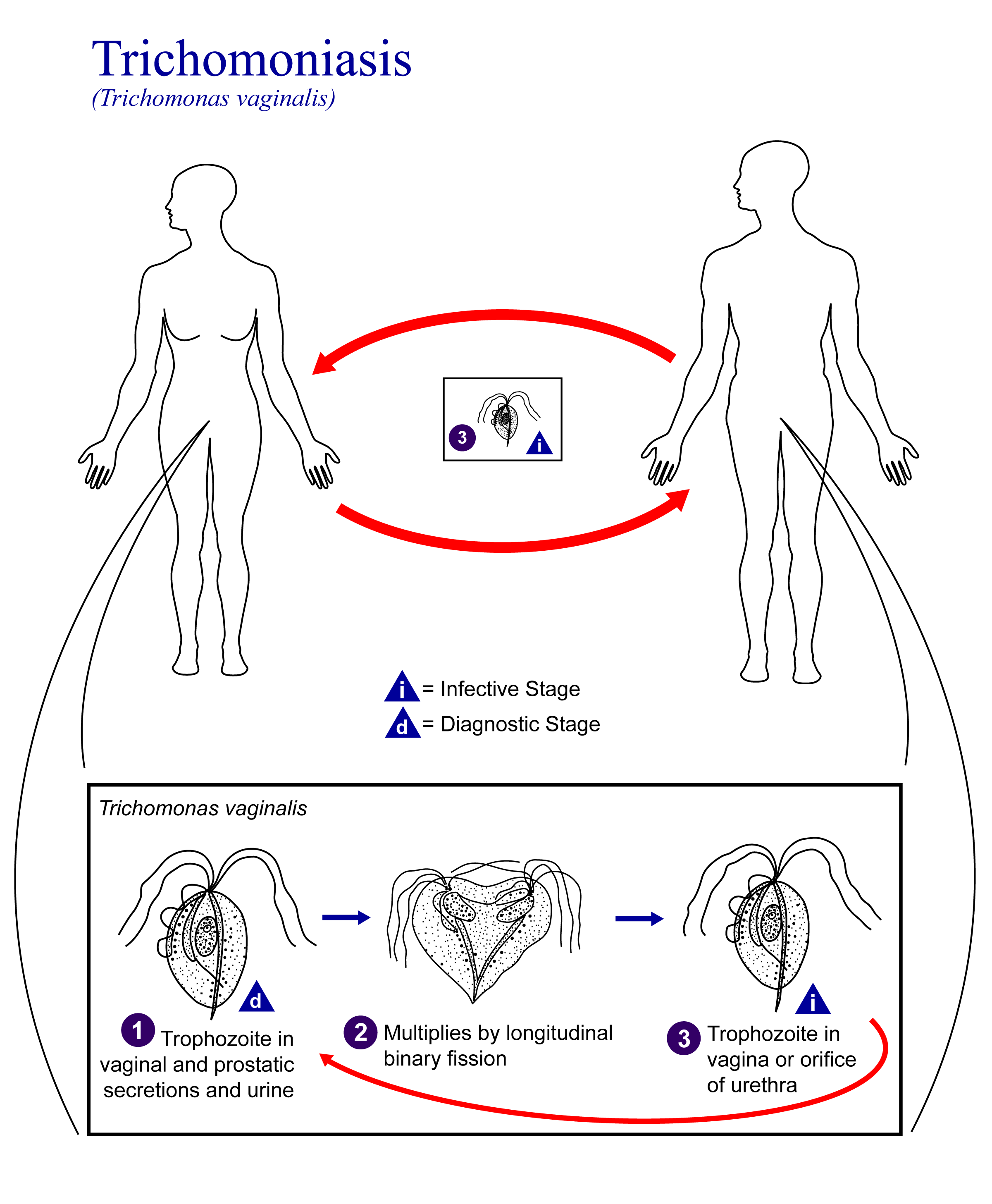 Life cycle of Trichomonas vaginalis, the causative agent of Trichomoniasis.