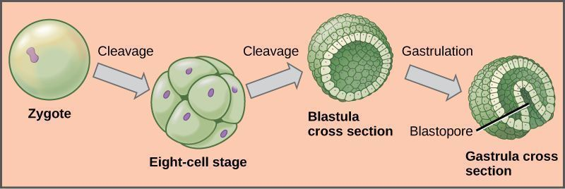 The development of a fertilized egg cell, a zygote.