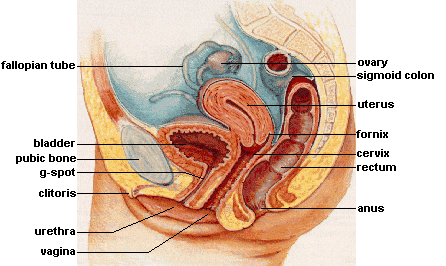llustration depicting female reproductive system
