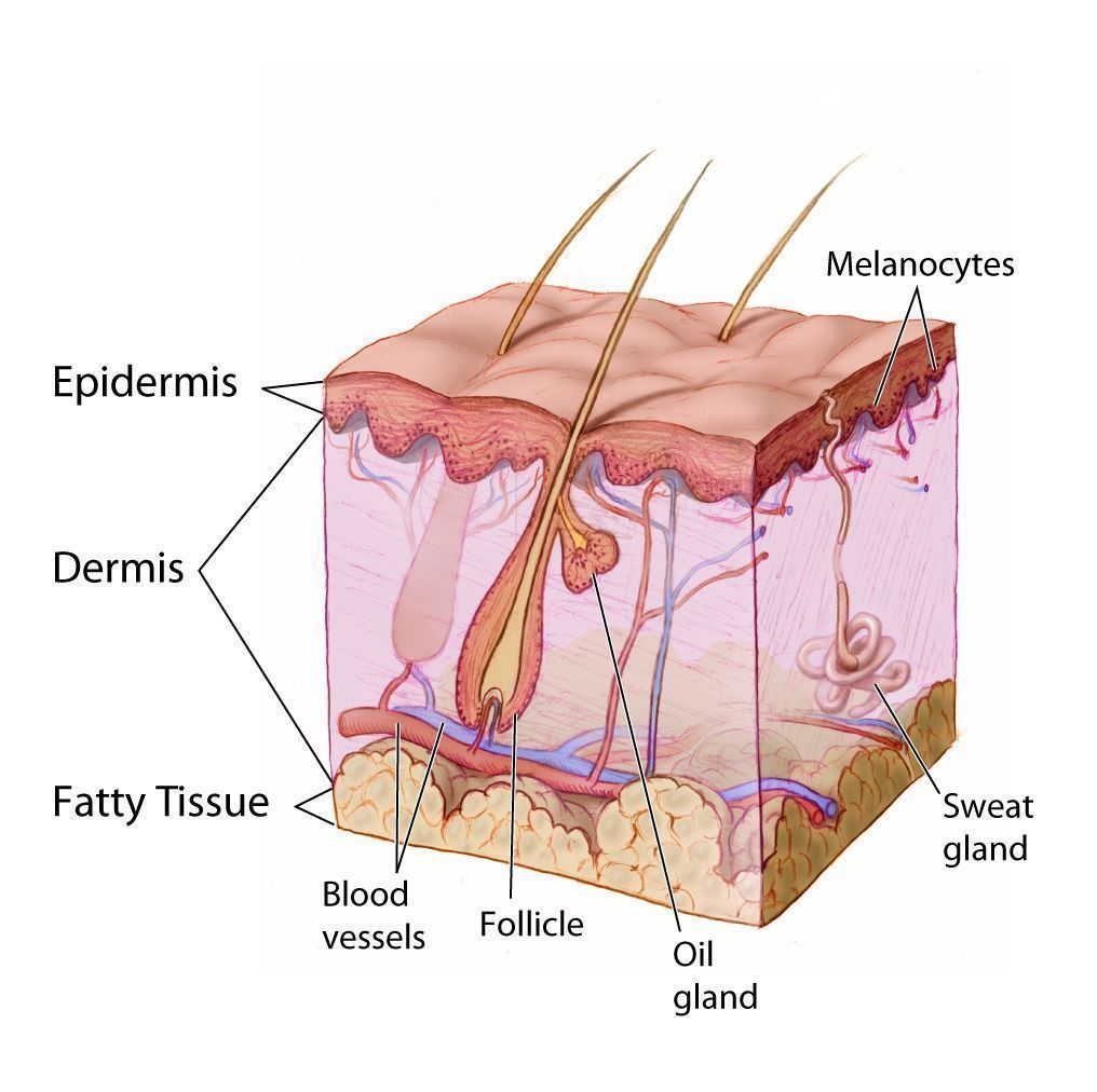 An illustration of the structure of skin, with the location and structure of sweat glands.