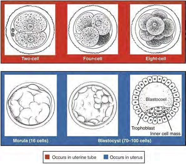 Pre-embryonic cleavages make use of the abundant cytoplasm of the conceptus as the cells rapidly divide without changing the total volume.