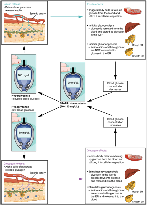 If blood glucose concentration rises >110 mg/dL, insulin is released, and glucose is removed from the blood. If blood glucose concentration drops <70 mg/dL, glucagon is released, which stimulates body cells to release glucose into the blood.
