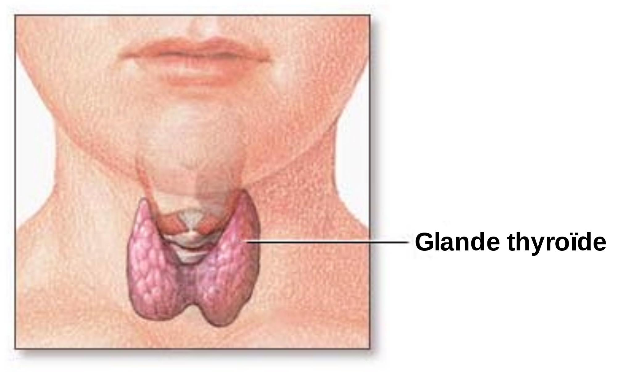 A picture showing the localization and shape of the thyroid gland.