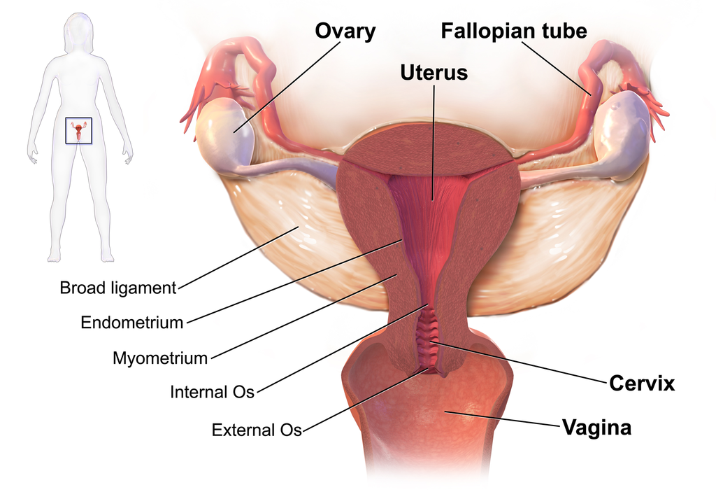 A diagram showing the organs of the female reproductive system. The inner lining of the uterus, called the endometrium, can undergo hyperplasia (enlargement) in certain conditions.