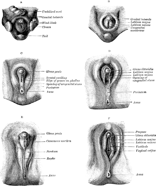 Stages in the development of the clitoris.