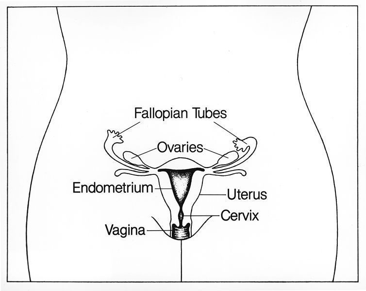 The localization of the organs of the female reproductive tract, including the Fallopian tubes.
