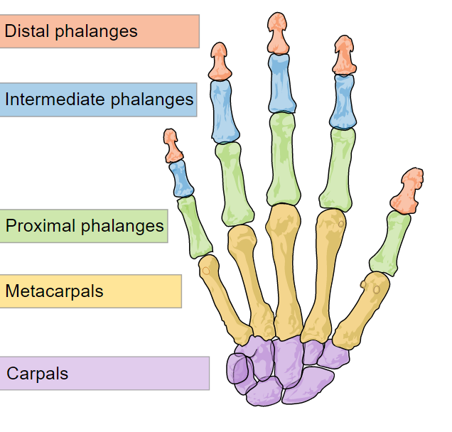 Illustration depicting the bones of the human hand.