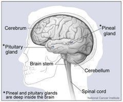 Pic. 1: Major part of the brain
