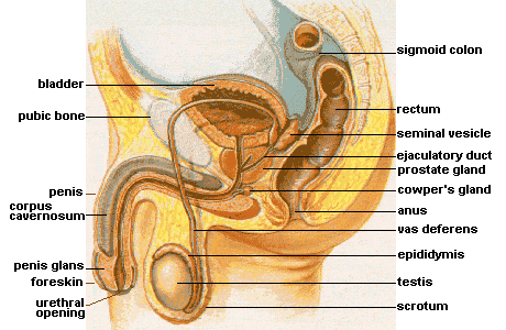 A picture showing the anatomy of male reproductive system. Physical causes of anejaculation may include the obstruction of the ejaculatory ducts.