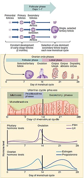 Changes in follicles during the ovarian cycle, the endometrium during the menstrual cycle, and a timeline of hormonal levels.