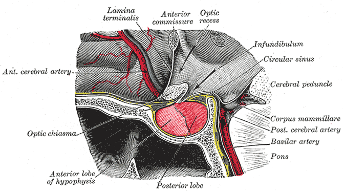 Located at the base of the brain, the pituitary gland is protected by a bony structure  called the sella turcica of the sphenoid bone.
