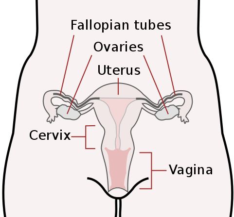 Schematic drawing of female reproductive organs, frontal view.