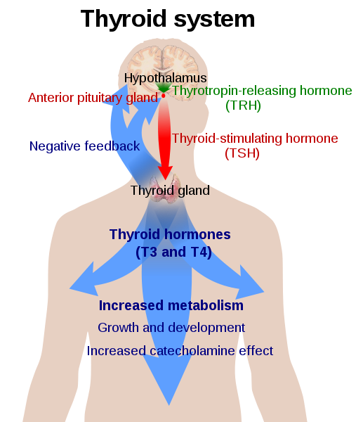 The system of the thyroid hormones T3 and T4.