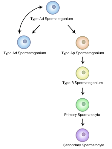 A scheme of spermatogonia advancement showing the function of different types of spermatogonia in the process of spermatogenesis.