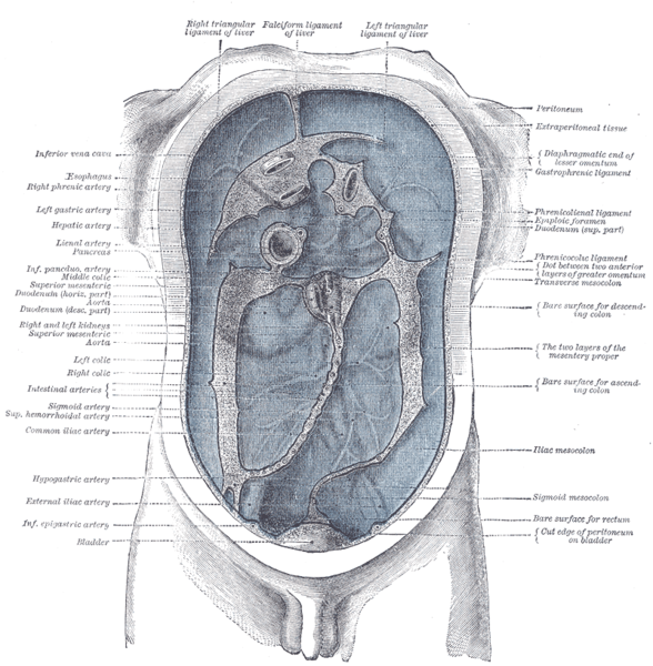 The peritoneum (blue) is the serous membrane that forms the lining of the abdominal cavity. It covers most of the intra-abdominal, supporting them and serving as a conduit for their blood and lymph vessels and nerves.
