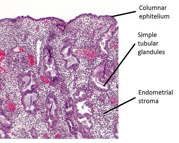 A micrograph of the stratum functionalis during the secretory phase of uterine cycle.