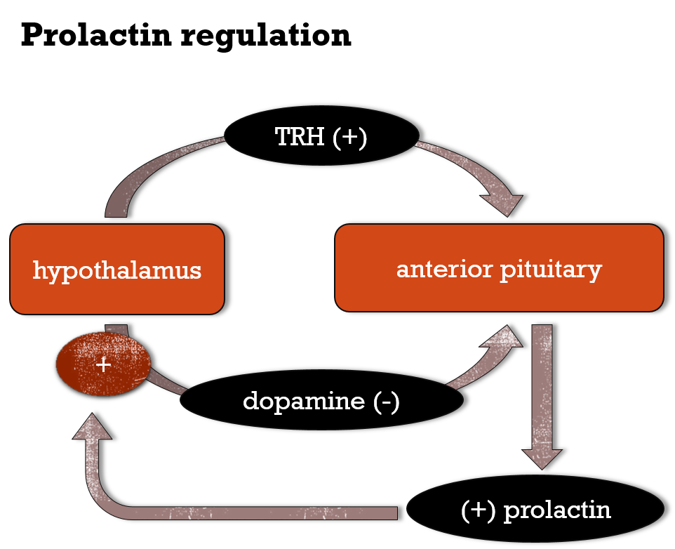 Pic. 1: Regulation of prolactin secretion by hypothalamus with feed back mechanisms.