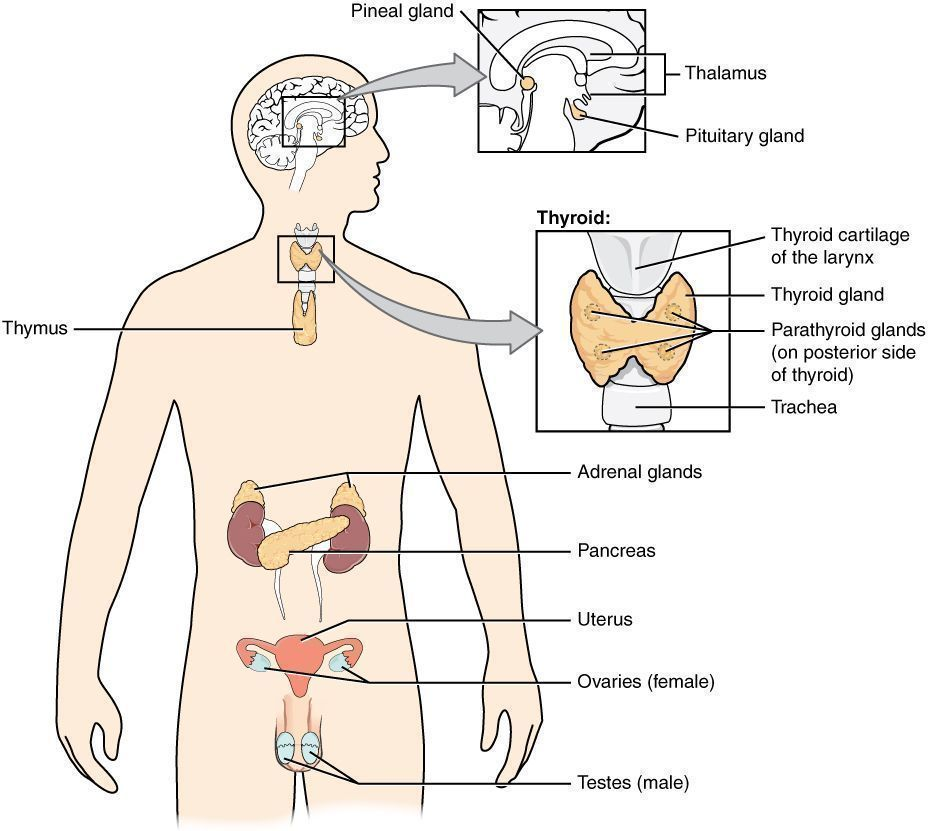Pic. 1: Endocrine glands