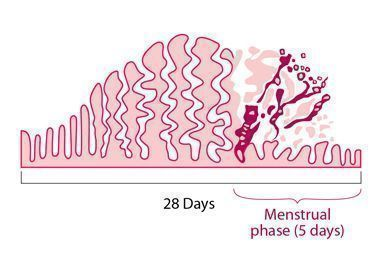This diagram illustrates how the endometrium builds up and breaks down during the menstrual cycle.