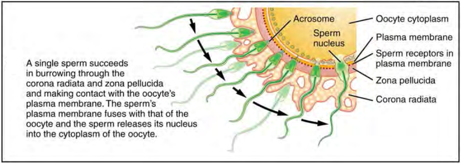 Before fertilization, hundreds of capacitated sperm must break through the surrounding corona radiata and zona pellucida so that one can contact and fuse with the oocyte plasma membrane.